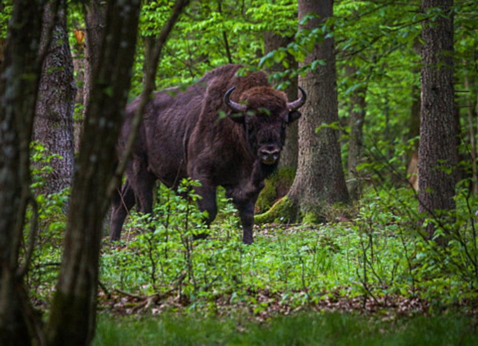 National Geographic порекомендовал Беловежскую пущу для посещения в 2020 году